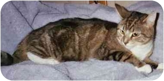 Domestic Shorthair Cat for adoption in Bedford, Massachusetts - Emily