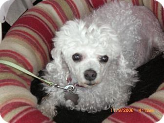 Toy Poodle Mix Dog for adoption in Long Beach, California - Doll Face