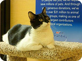 Domestic Shorthair Cat for adoption in Carlisle, Pennsylvania - Hanna