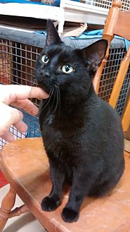 Domestic Shorthair Cat for adoption in Trevose, Pennsylvania - Mink