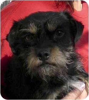 Schnauzer (Miniature)/Poodle (Miniature) Mix Dog for adoption in El Segundo, California - Bristol