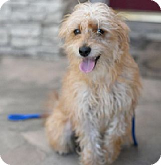 Terrier (Unknown Type, Small) Mix Puppy for adoption in Mission Viejo, California - HAYDEN