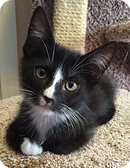 Domestic Shorthair Kitten for adoption in Meridian, Idaho - Sylvester