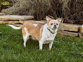 Chihuahua Mix Dog for adoption in Dayton, Ohio - Oliver - Lima, OH
