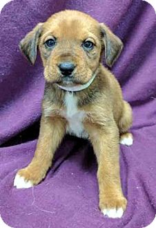 Shepherd (Unknown Type) Mix Puppy for adoption in Gahanna, Ohio - ADOPTED!!!   Mrs Potts