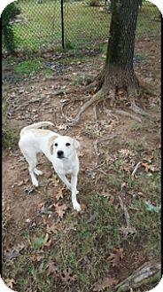 Labrador Retriever Mix Dog for adoption in Silverdale, Washington - Rebbie