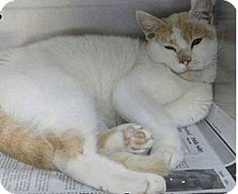 Turkish Van Cat for adoption in Ocala, Florida - LOKI