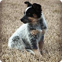 Adopt A Pet :: *Ashlynne - PENDING - Westport, CT