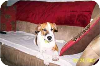 Jack Russell Terrier Dog for adoption in Thomasville, North Carolina - Max