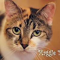 Calico Cat for adoption in Wichita Falls, Texas - Maggie Mae