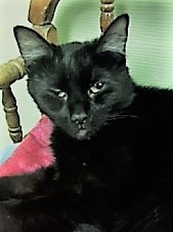 Domestic Shorthair Cat for adoption in Medina, Ohio - Sherry