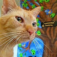 Domestic Shorthair Cat for adoption in Fredericksburg, Virginia - Bunny