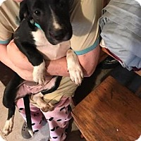 Pointer Mix Puppy for adoption in Mission, Kansas - Delicious Asparagus