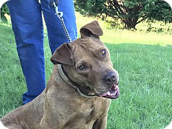 American Staffordshire Terrier/American Pit Bull Terrier Mix Dog for adoption in Glastonbury, Connecticut - Coco Buns
