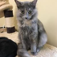 Domestic Mediumhair/Domestic Shorthair Mix Cat for adoption in Rochester, Minnesota - Cavan