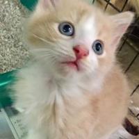 Adopt A Pet :: Pierre (Kit - Momcat 61217) - McDonough, GA
