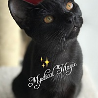 Adopt A Pet :: Magic - Island Park, NY