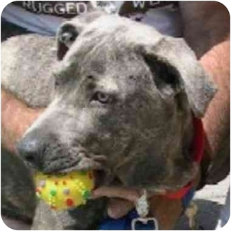 American Pit Bull Terrier Mix Dog for adoption in Berkeley, California - Smokey
