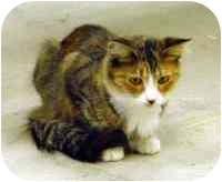 Domestic Longhair Cat for adoption in Coleraine, Minnesota - Patty