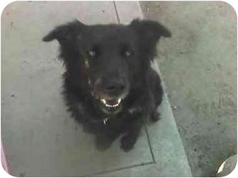 Labrador Retriever/Chow Chow Mix Dog for adoption in Fowler, California - Sophie