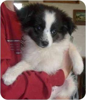 Chihuahua Puppy for adoption in Warsaw, Missouri - ZORRO
