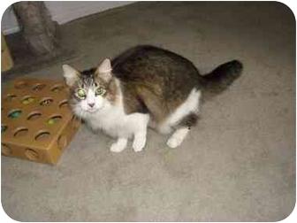 Domestic Mediumhair Cat for adoption in Haughton, Louisiana - Rachel cats