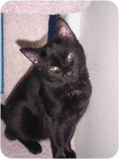 Domestic Shorthair Cat for adoption in Warren, Michigan - Gemini