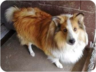 Collie Mix Dog for adoption in Ladysmith, Wisconsin - King