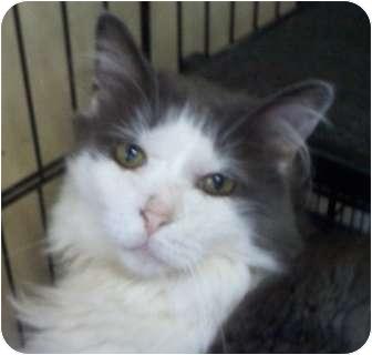 Domestic Mediumhair Cat for adoption in Columbiaville, Michigan - KC