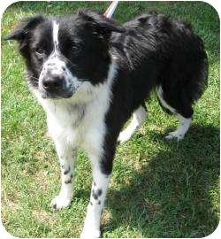 Border Collie Mix Dog for adoption in Charlotte, North Carolina - Kelli