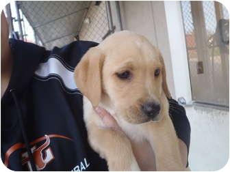 Labrador Retriever Mix Puppy for adoption in Cumming, Georgia - Puff
