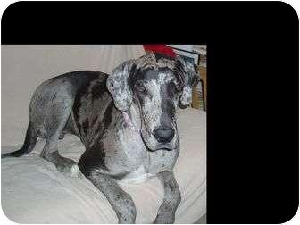 Great Dane Puppy for adoption in Phoenix, Arizona - Diesel/UPDATE