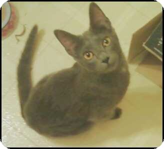 Russian Blue Kitten for adoption in Madison, Tennessee - Jill
