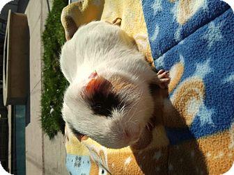 Guinea Pig for adoption in Fullerton, California - Wash