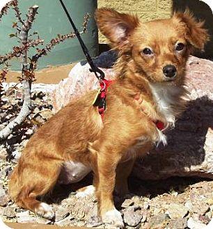 Papillon Mix Dog for adoption in Gilbert, Arizona - Molly