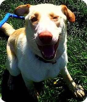 Labrador Retriever/Australian Cattle Dog Mix Dog for adoption in Staunton, Virginia - Hunter