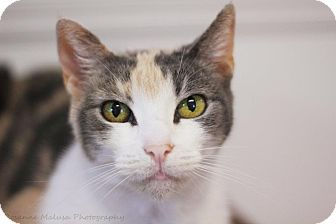 Calico Cat for adoption in Huntington Station, New York - CHARLEY