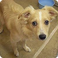 Adopt A Pet :: Winston - Wickenburg, AZ