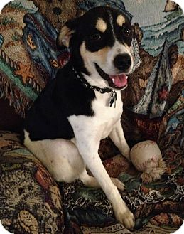 Shepherd (Unknown Type)/Treeing Walker Coonhound Mix Dog for adoption in Union City, Tennessee - Ricki