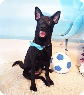 Labrador Retriever Mix Puppy for adoption in Castro Valley, California - Lawry
