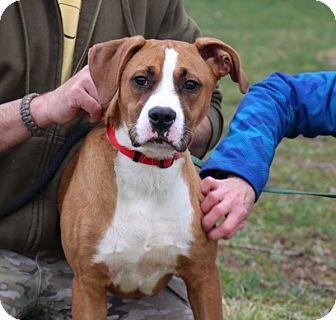 Boxer/Labrador Retriever Mix Puppy for adoption in Elyria, Ohio - Krypto