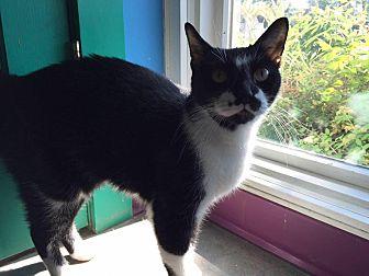 Domestic Shorthair Cat for adoption in Topeka, Kansas - Norbert