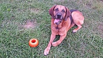 Bloodhound Mix Dog for adoption in Creedmoor, North Carolina - Clyde