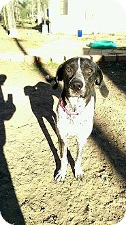 Bluetick Coonhound Mix Dog for adoption in Seattle, Washington - Crystal