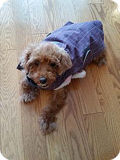 Miniature Poodle/Bichon Frise Mix Dog for adoption in Zephyr, Ontario - Barbie