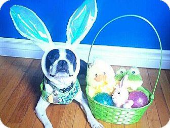 Boston Terrier Dog for adoption in Hanover, Ontario - Zank