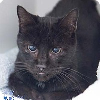 Domestic Shorthair Cat for adoption in Merrifield, Virginia - Axl