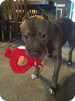 Pit Bull Terrier Mix Dog for adoption in Jackson, New Jersey - Hennessey