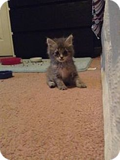 Domestic Longhair Kitten for adoption in Washington, Pennsylvania - Cosette
