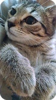Domestic Shorthair Kitten for adoption in Concord, North Carolina - Navi